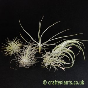 Airplants for arid / xeric vivariums 5 pack by craftyplants.co.uk
