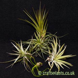 airplants for mesic warm and wet vivariums 5 pack from craftyplants.co.uk