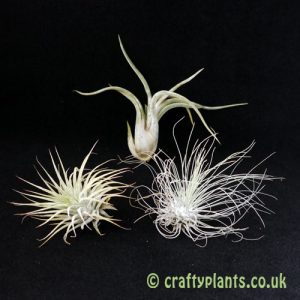 Airplants for arid / xeric vivariums 3 pack by craftyplants.co.uk