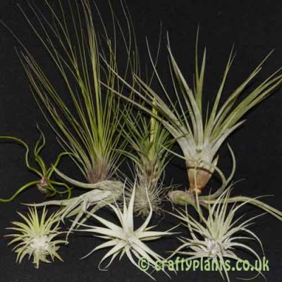 Craftyplants Tillandsia Beginners 10 pack