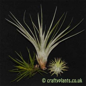 Craftyplants Beginners Tillandsia Airplant 3 pack