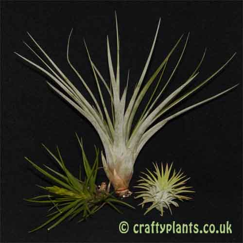 Beginners airplant pack – 3 easy to care for plants