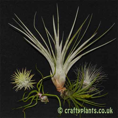 Craftyplants Beginners Tillandsia 5 pack