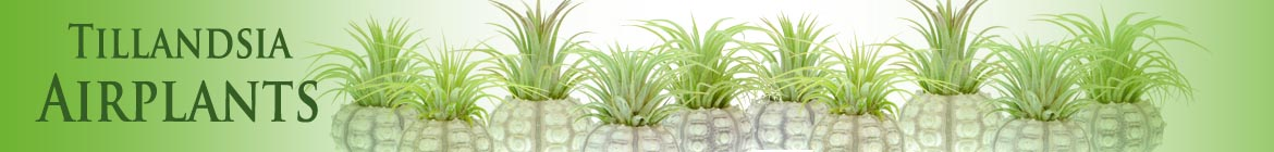 https://www.craftyplants.co.uk/wp-content/uploads/2016/01/Long-airplants-banner.jpg