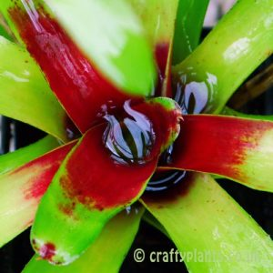 Neoregelia-paulinae water tank bromeliad
