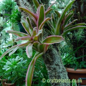 Neoregelia schultessiana variegata growing epiphytically