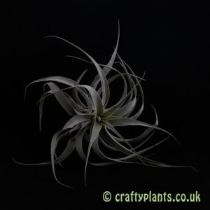 Tillandsia Cacticola air plant from Craftyplants