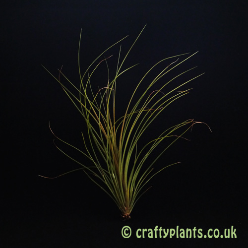 Tillandsia Festucoides air plant from Craftyplants