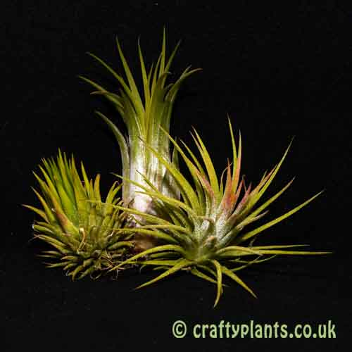 Craftyplants Tillandsia Ionantha 3 Pack