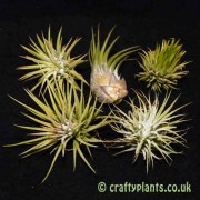 Craftyplants Tillandsia Ionantha five Pack Airplants