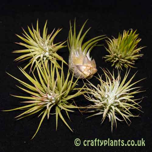 Airplant Ionantha varieties – 5 pack