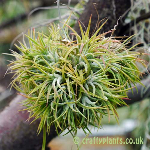 Tillandsia Ionantha Mexico blushing bride air plant