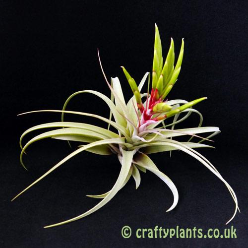 Tillandsia 'Redy' (T. streptophylla x T. concolor) hybrid air plant