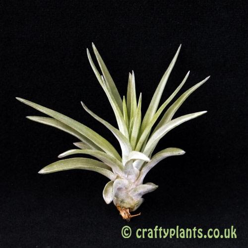 Tillandsia brachycaulos multiflora by craftyplants.co.uk