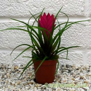 Tillandsia cyanea from craftyplants.co.uk
