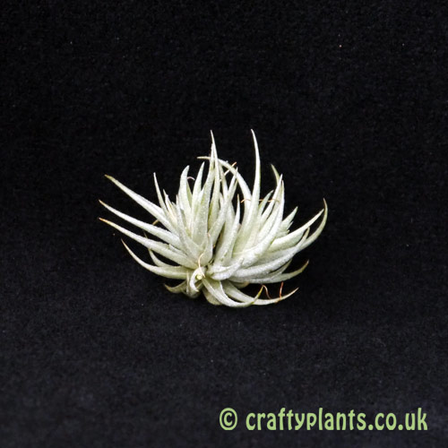 Tillandsia loliacea from craftyplants.co.uk