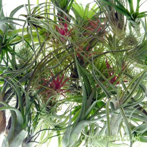 Tillandsia Airplant Wholesale 50 pack