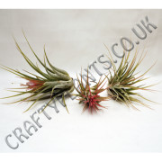 airplant ionantha varieties-3-pack-[2]-117-p