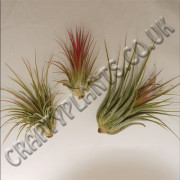 airplant-ionantha-varieties-3-pack-[3]-117-p