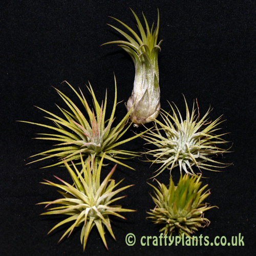 airplant ionantha varieties 5 pack from craftyplants.co.uk
