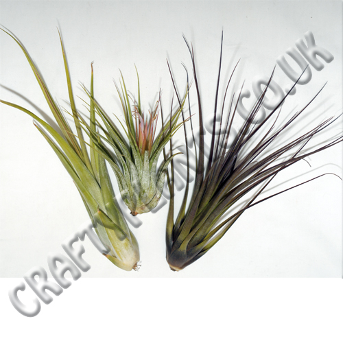 airplants-for-arid-xeric-hot-and-dry-vivariums-3-pack-1199-p