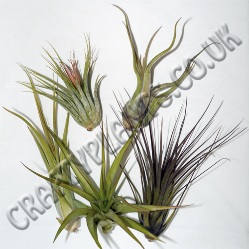 airplants-for-arid-xeric-hot-and-dry-vivariums-5-pack-118-p