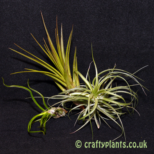 airplants for mesic warm and wet vivariums 3 pack