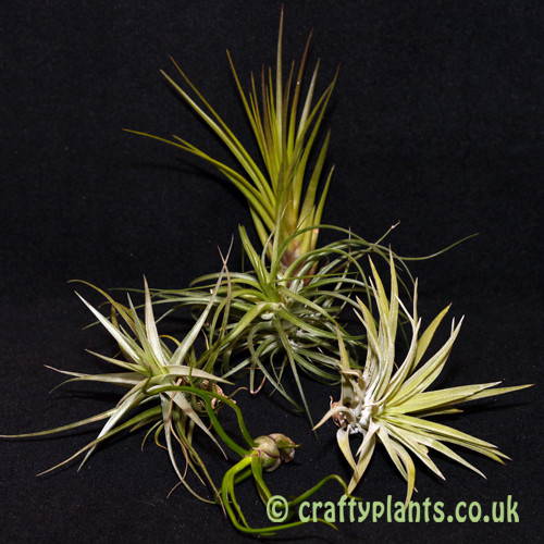 airplants for mesic warm and wet vivariums 5 pack