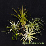 airplants for mesic warm and wet vivariums 5 pack by craftyplants