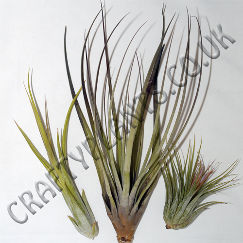 Beginners Air Plants