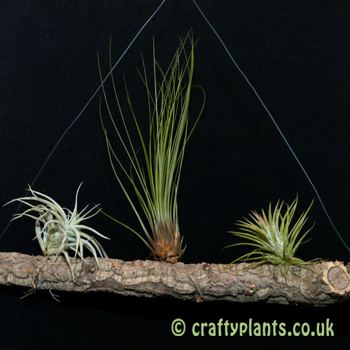 Beginners Air Plants on cork branch