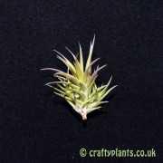tillandsia aeranthos bronze by craftyplants.co.uk