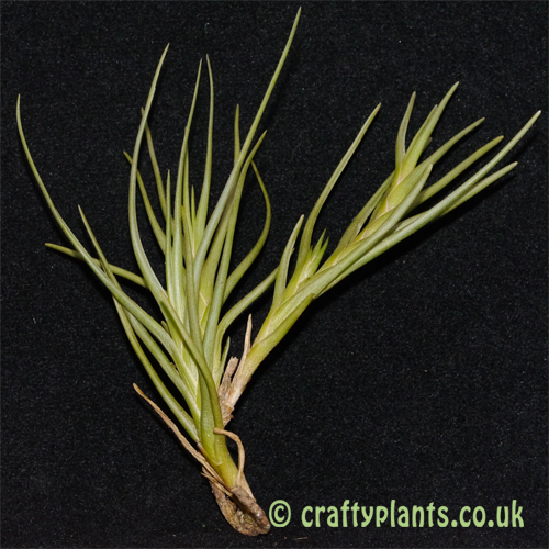 tillandsia albertiana from craftyplants
