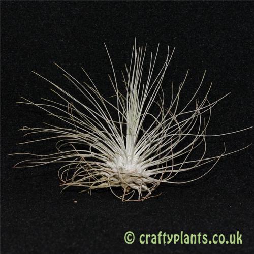 tillandsia argentea from craftyplants.co.uk