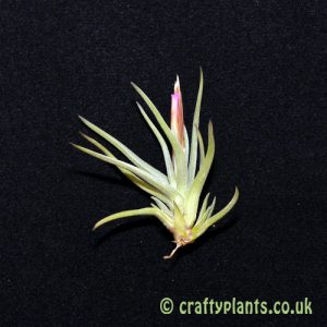 tillandsia argentina from craftyplants.co.uk