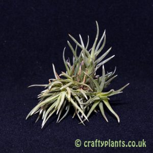 tillandsia argentina small clump by craftyplants