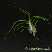 tillandsia bulbosa airplant from craftyplants