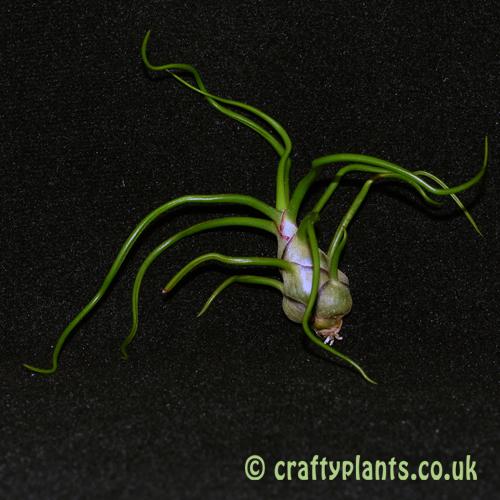 tillandsia bulbosa airplant from craftyplants