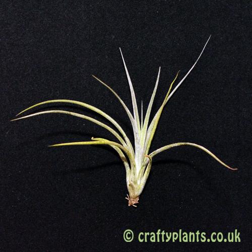 tillandsia califano (ionantha x baileyi hybrid) air plant from craftyplants.co.uk