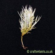 tillandsia capillaris small clumps air plant from craftyplants.co.uk