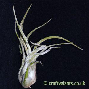 tillandsia caput medusae airplant from craftyplants