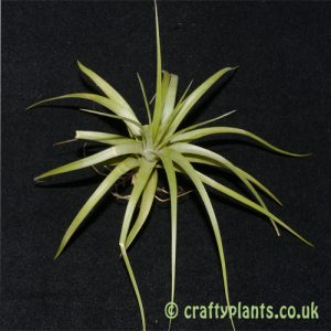 tillandsia concolor from craftyplants