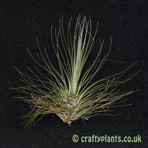 tillandsia filifolia air plant from craftyplants