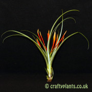 tillandsia flabellata from craftyplants.co.uk