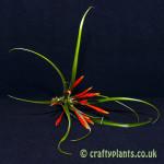 tillandsia flabellata from craftyplants