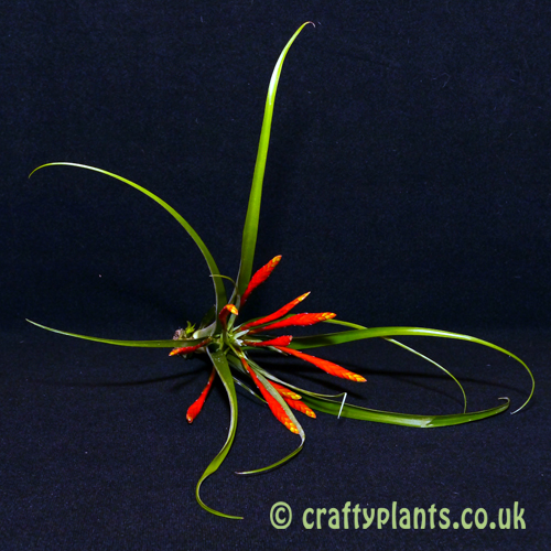 tillandsia flabellata from craftyplants