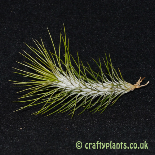 tillandsia funckiana from craftyplants