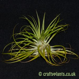 tillandsia geminiflora from craftyplants