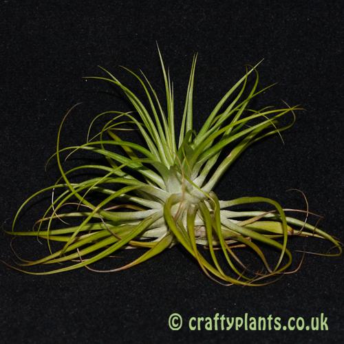 tillandsia geminiflora from craftyplants