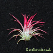 Tillandsia Ionantha Fuego from craftyplants